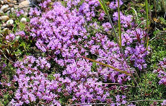 Тимьян ползучий (чабрец ползучий, богородская трава)